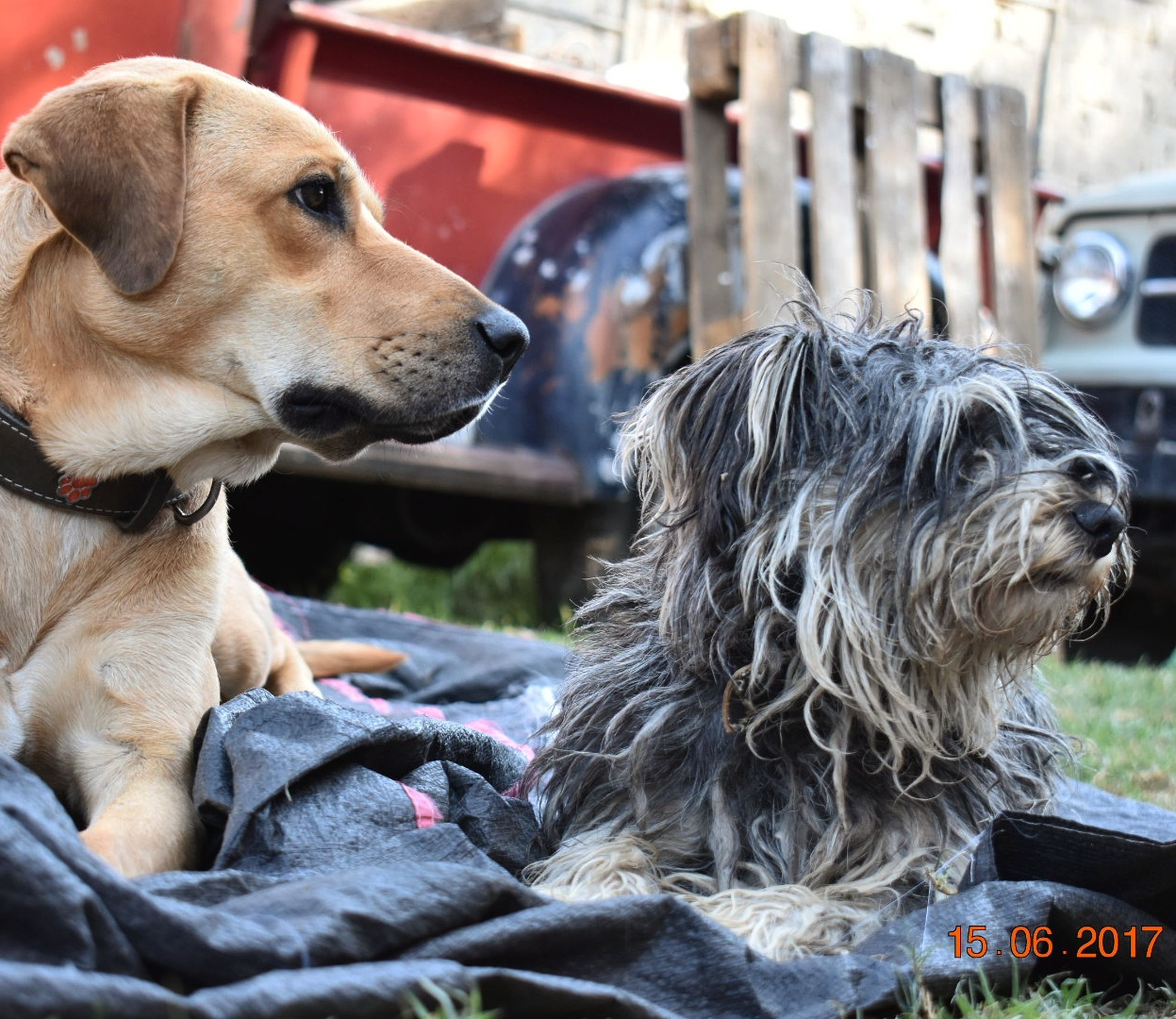 dog, pets, domestic animals, animal themes, mammal, one animal, day, close-up, sitting, no people, outdoors
