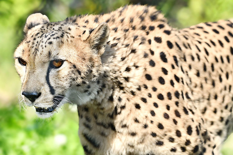 Beautiful Animals  Zoo Animals  Wildlife Close-up Nature Outdoors Feline Animal Themes Big Cat Animal Animal Wildlife Animals In The Wild Cat Mammal One Animal Spotted Carnivora Cheetah No People Focus On Foreground Portrait Close-up Survival Animals Hunting Undomesticated Cat Day