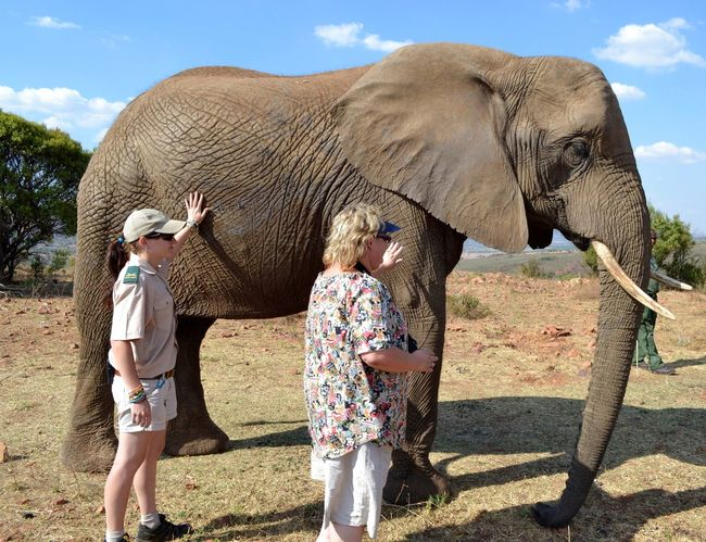 Elephant encounter Big Ears Elephant Elephant Ears Game Ranger Mammal People And Animal Touching Elephant Tusks