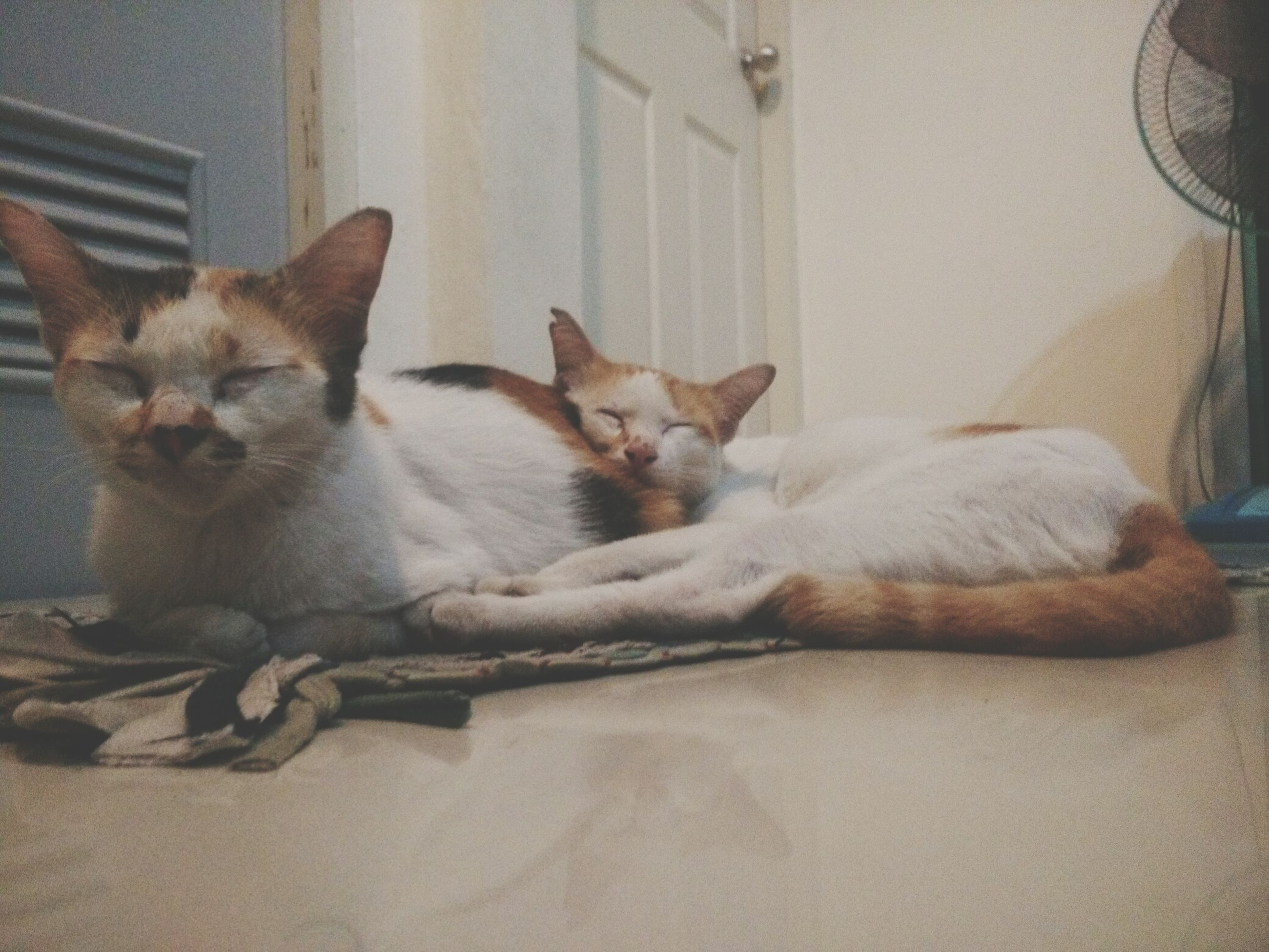 domestic animals, pets, mammal, animal themes, domestic cat, cat, one animal, indoors, feline, relaxation, two animals, lying down, home interior, portrait, whisker, resting, looking at camera, no people, sitting, young animal
