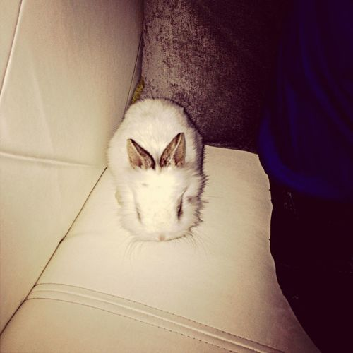 My white rabbit...?