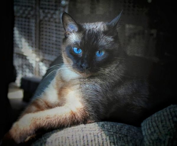 Meet Praliene, our siamese cat. Hanging Out That's Me Relaxing People Watching Home Is Where The Art Is Cat EyeEm Gallery EyeEm Best Shots Mischievous Bojangles Sister Stubborn