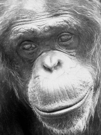 Affe Affen Schimpanse Schimpans Blackandwhite Black And White Black & White Blackandwhite Photography Schwarzweiß Schwarzweißfotografie Schwarzweiß Schwarz & Weiß Zoo Zoo Animals  Zoophotography Tiere Tier