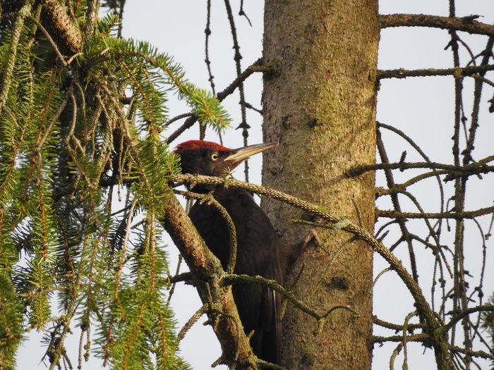 Woodpecker perching on tree trunk