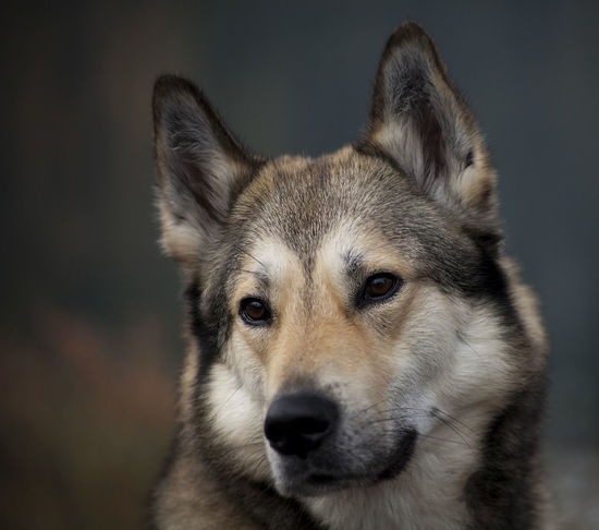 Laika Lapland Sweden Animal Themes Bear Hunting Bearhound Bearhunting Day Dog Doghunting Domestic Animals Elkhound Hunting Hunting With Dog Mammal No People Norrbotten Norrland One Animal Outdoors Pets Pet Portraits