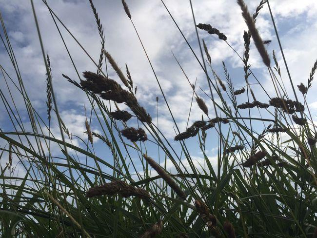 Gen Himmel durch die Gräser IPhoneography Iphone6 Bilsbek Eyeemkummerfeld