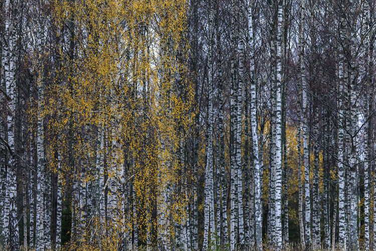 Birch trees with yellow leaves during autumn. Autumn Sweden Backgrounds Beauty In Nature Birch Trees Coniferous Tree Day Forest Full Frame Growth Land Nature No People Non-urban Scene Outdoors Pine Tree Plant Scenics - Nature Tranquil Scene Tranquility Tree Tree Trunk Trunk Wood - Material WoodLand