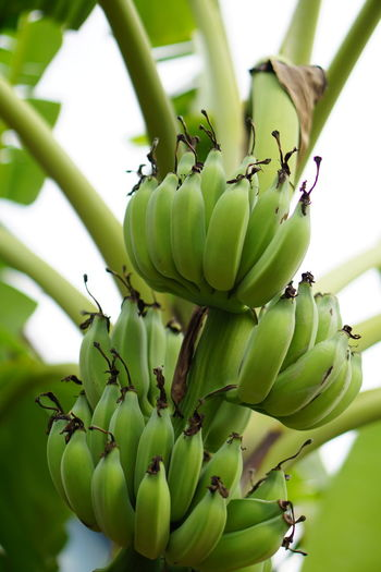 Near by my apartment Green Color Plant No People Nature Growth Leaf Fruit Close-up Freshness Food Day Outdoors Beauty In Nature Healthy Eating Green Leaves Banana Banana Tree Bananas Green Bananas Unripe Bananas Young Bananas Unripe Fruits Art Of Nature