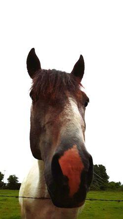 Horse Horseface Horse Photography  Horsenose Horse Head Horse Power Horse Life Horse In Field Horselife