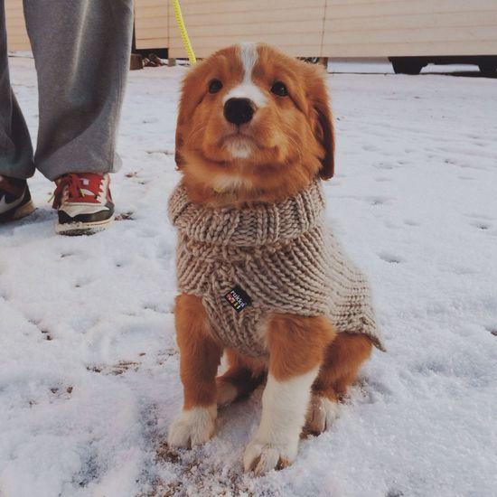 Say ello to River, 7weeks old toller. Novascotiaducktollingretriever Dog Puppy