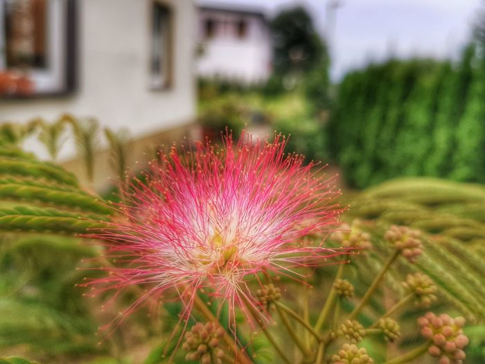 Albizia julibrissin , Seidenbaum oder auch Persischer Schlafbaum Albizia Schlafbaum Seidenbaum Seidenakazie Schirmakazie Nature_collection Rwfart Galaxys8 Garten Pflanze Natur Fotoexpeditionen Garden Photography Garten EyeEmNewHere Eyeemphotography Germany Flower Head Flower Thistle Springtime Close-up Plant Sky Building Exterior