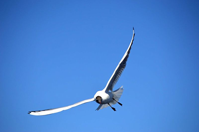 Flying Sky Blue Clear Sky Animals In The Wild Animal Wildlife Low Angle View Mid-air Bird Spread Wings Animal Vertebrate Copy Space Animal Themes Nature Day No People Air Vehicle Outdoors Motion