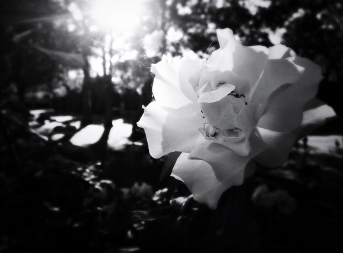 My entry for the Resplendence Bnw_friday_eyeemchallenge Flowerporn Fortheloveofblackandwhite Roses Light And Shadow Flower Collection Summer Memories... Bnwphotography I Used My Ten Tags!