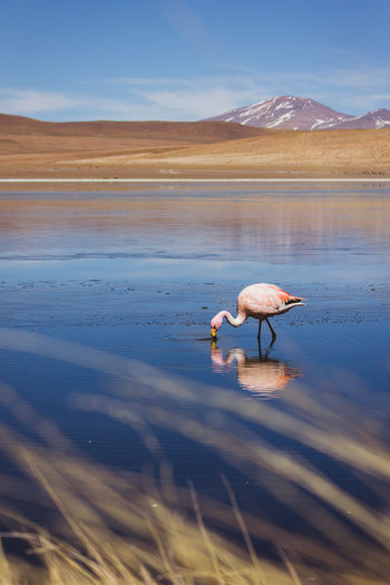 Laguna Cañapa, Uyuni. Bolivia Animal Wildlife Animals In The Wild Beauty In Nature Bolivia Canapa Destination Flamingo Highlands Lagoon Lake Mountain Mountain Range Nature Scenics Tourism Uyuni Uyuni, Bolivia Water