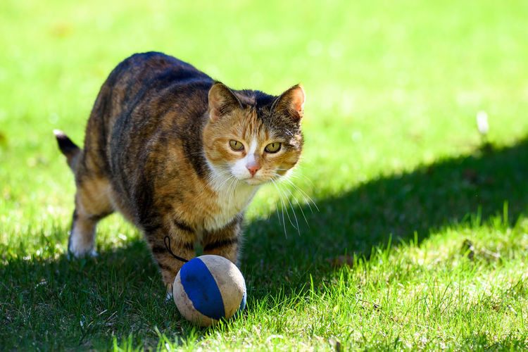 Portrait of cat with ball on field