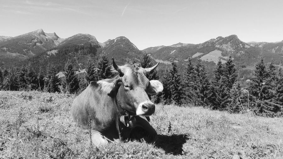 Cow Resting On Hill Against Sky During Sunny Day