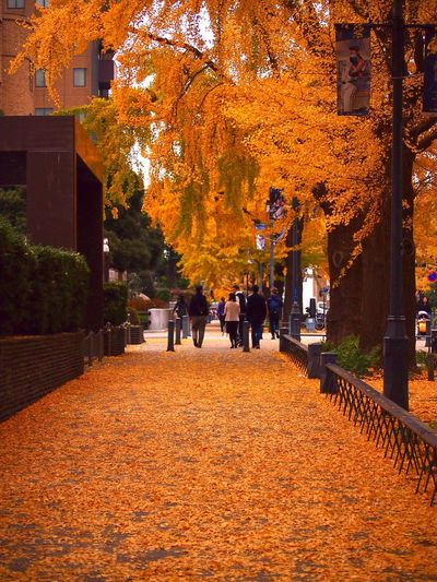Autumn Tree Change Leaf Nature Outdoors Day Yellow Yellow Leaves Yellow Color Holyday Yokohama