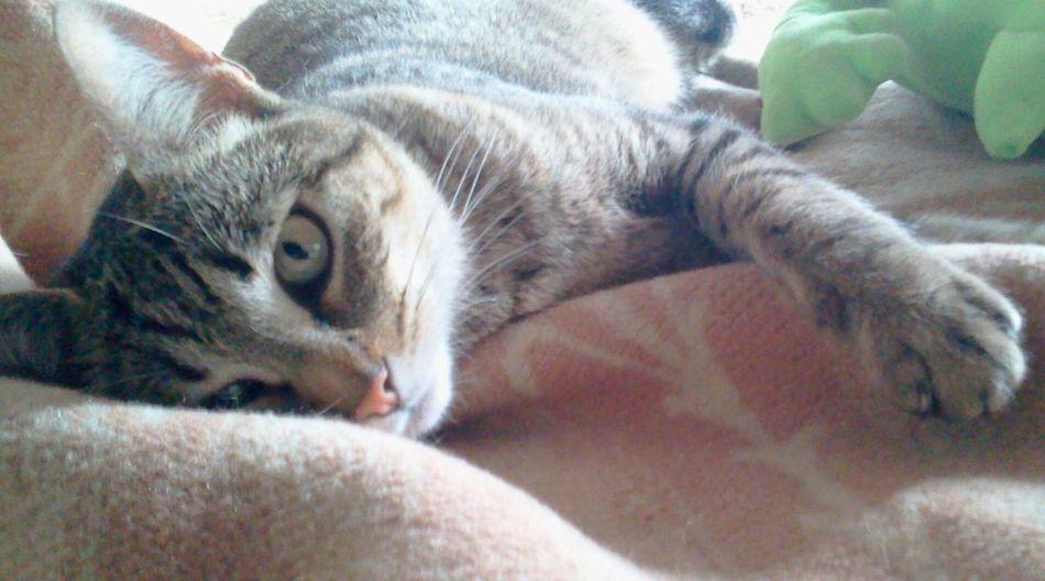 Cat Animals Bestfriend Katniss mi gatita ❤