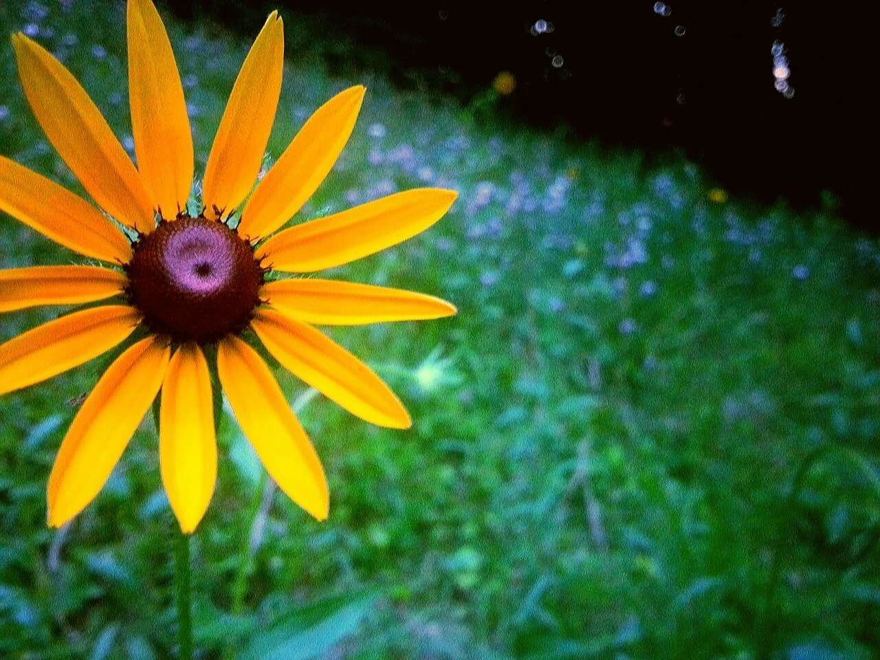 flower, petal, fragility, beauty in nature, growth, freshness, flower head, nature, blooming, plant, day, outdoors, yellow, no people, black-eyed susan, close-up