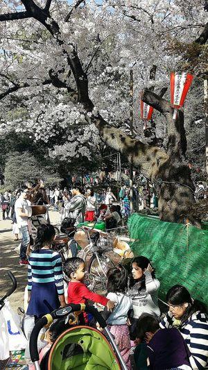 Sakura Appreciation Spring Ueno Park Tokyo Japan Travel Photography