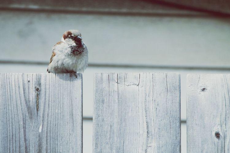 Sparrow Fence