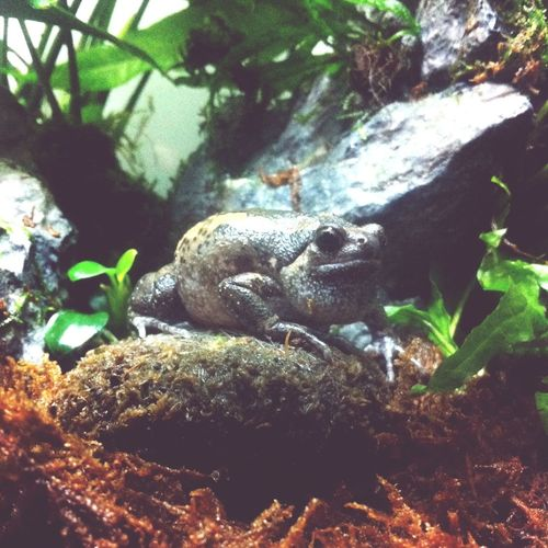 You sing way too loud bro Bandedbullfrog Frog