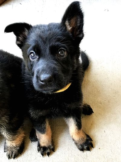 Pets Domestic Animals Looking At Camera Mammal Animal Themes Portrait Dog One Animal Black Color No People Close-up Indoors  Black German Shepherd Day Bi-color Gs