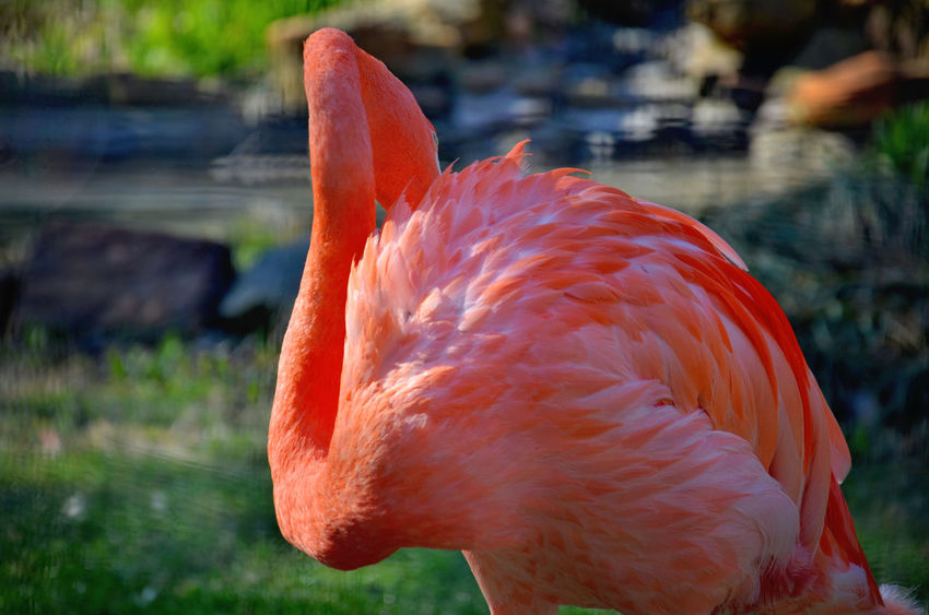 Animal Themes Animal Wildlife Animals In The Wild Beauty In Nature Bird Close-up Day Feather  Flamingo Focus On Foreground Nature No People One Animal Outdoors Water
