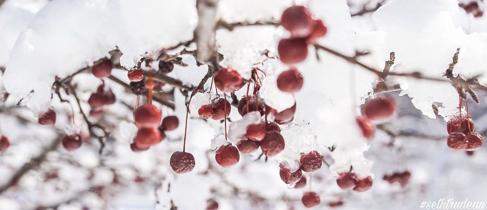 """Ripe"" Nature Fruit Close-up Growth Outdoors No People Day Tree Rose Hip Freshness Red White Snow Tree Berries"
