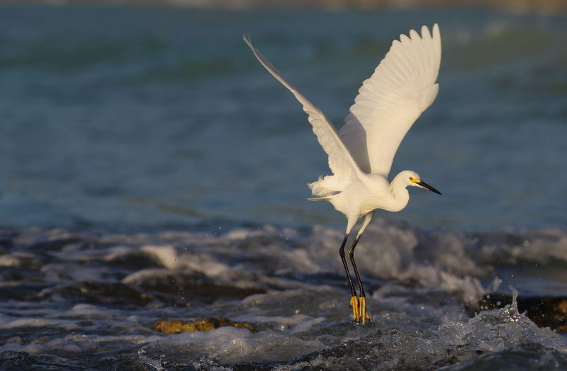 Egret Flying At Beach