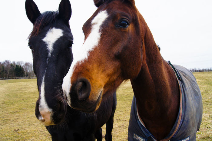 Two beautiful horses. Animal Animal Head  Animal Themes Animal Wildlife Brown Day Domestic Domestic Animals Field Group Of Animals Herbivorous Horse Land Livestock Mammal Nature No People Outdoors Pets Ranch Two Animals Vertebrate