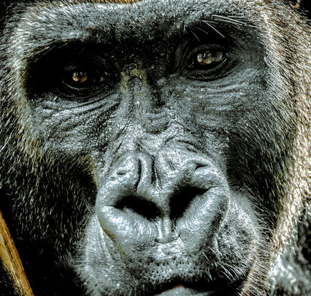 Monkey Nature Portrait Gorilla Close-up No People One Animal Animal Wildlife Limbe Camerun Afica Looking At Camera Animal Themes Animal Head  Day Animals In The Wild