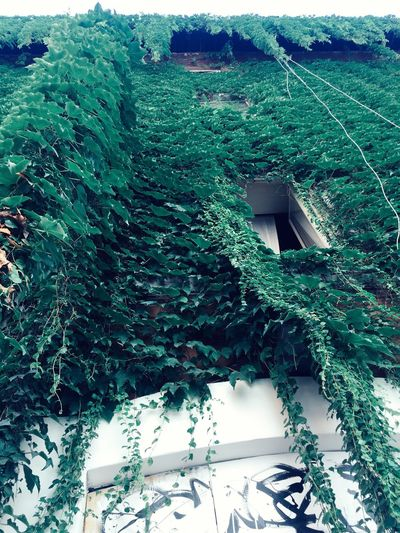 Close-up of ivy growing on house