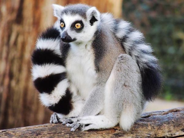 Zoo Animal Themes Animal Animal Wildlife Animals In The Wild Vertebrate Focus On Foreground Lemur One Animal Mammal Close-up Nature Looking Away