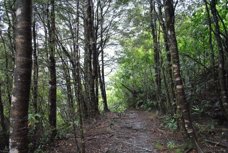Haast Pass, NZ Tree Forest Nature Tranquility Growth Tree Trunk WoodLand Beauty In Nature Outdoors Scenics No People Tranquil Scene Day The Way Forward Landscape Woods Grass
