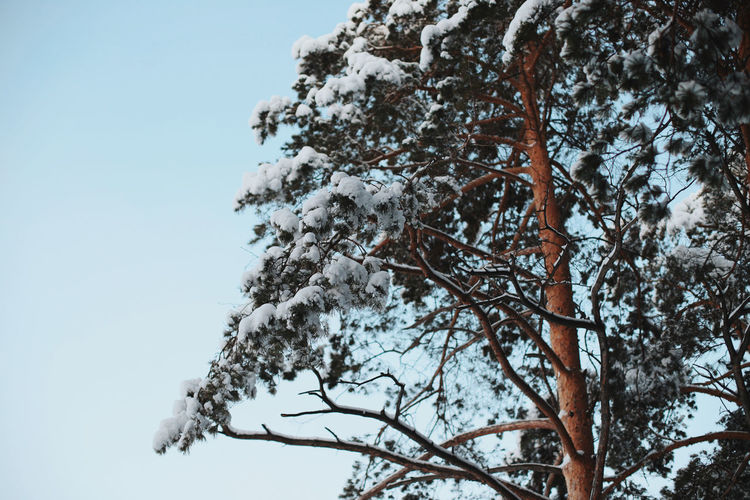 Low angle view of frozen tree against clear sky