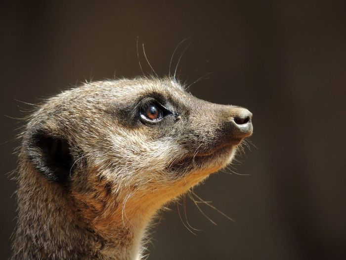 One Animal Close-up Animal Themes No People Mammal Meerkat Zoo Wildlife Photography Day First Eyeem Photo