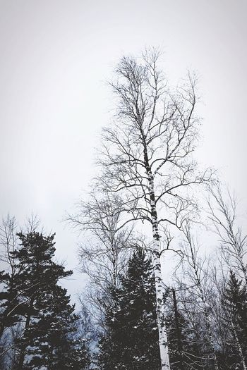 Shades Of Winter Tree Low Angle View Forest Nature Branch No People Day Bare Tree Sky Beauty In Nature Outdoors Growth Clear Sky Scenics Landscape_Collection The Week On Eyem Snowing Wintertime The Week On EyeEem White Color Snow Day Tree Beauty In Nature Landscape