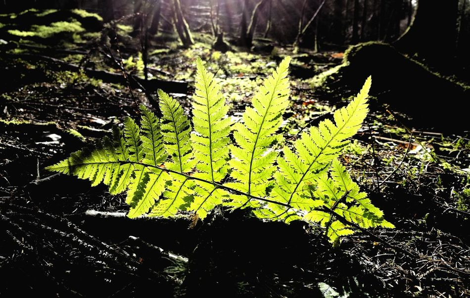 Nature Leaf Growth Beauty In Nature Close-up Freshness Tree Plant Outdoors Green Light And Shadow Woodland Kirriemuir Countryside Structure pattern