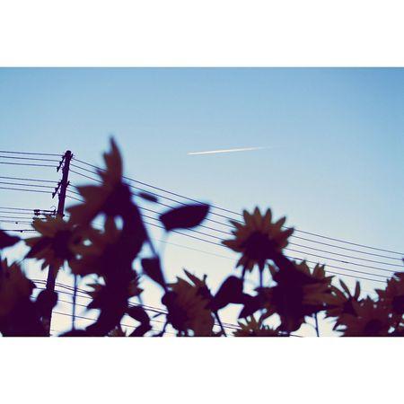 Sunflower Sky ひこうき雲 Blue Sky