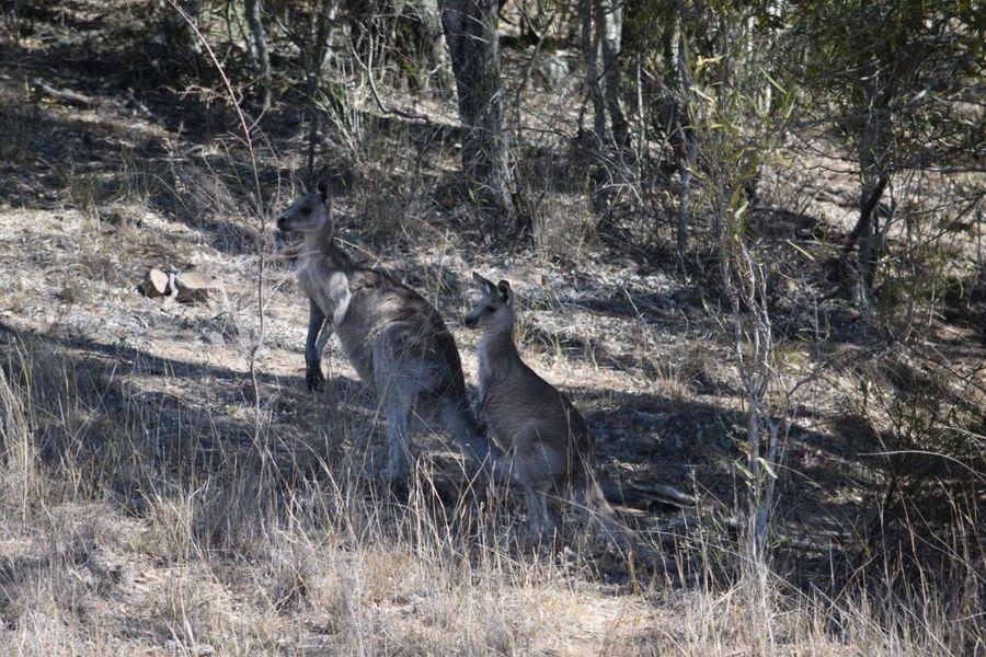 Australian Wildlife Australian Kangaroos Wildlife Wildlife & Nature Wildlife Photography Photographing Wildlife Animals