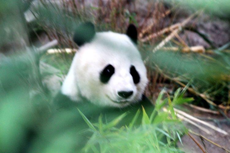 panda panda panda panda panda Giant Panda Panda - Animal Panda Bear Close-up Bamboo - Plant Bamboo Grove Animals In Captivity Bamboo Endangered Species