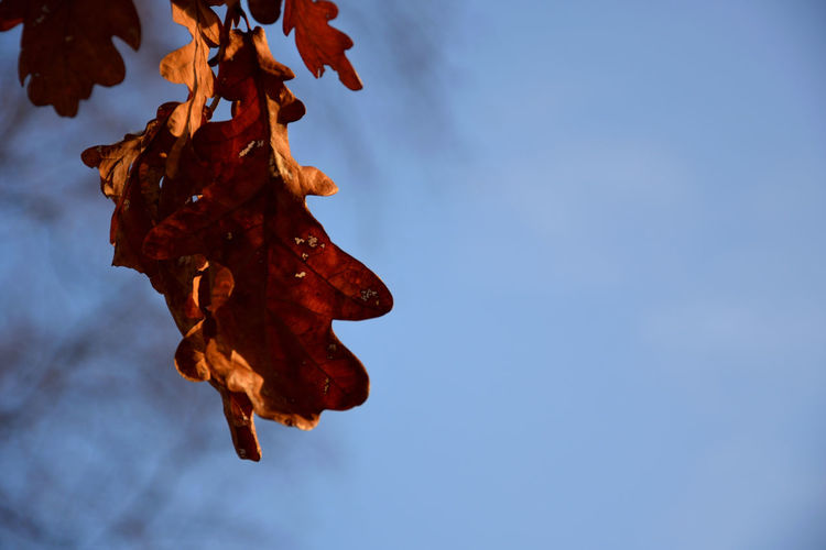 Dry oak leaf against the sky in winter Oak Tree Oak Leaf Sky No People Nature Plant Part Beauty In Nature Leaf Plant Dry Low Angle View Day Close-up Change Outdoors Tranquility Fragility Vulnerability  Blue Brown Copy Space Leaves Dried Natural Condition Wilted Plant