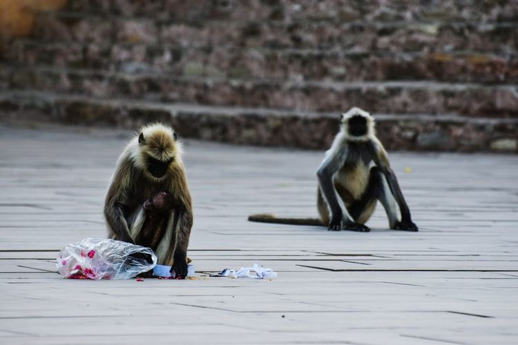 Monkeys Sitting On Floor Against Wall