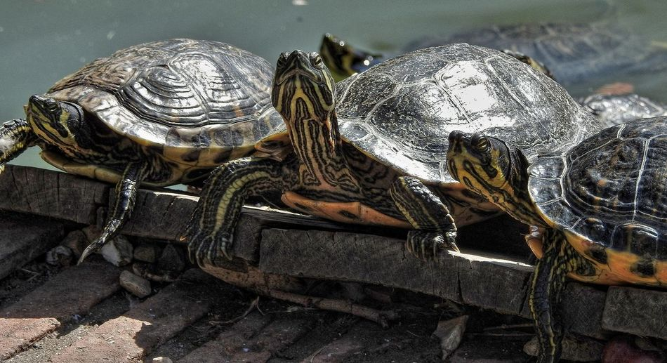 Close-up of turtles