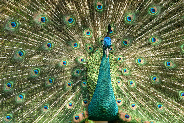 Full Frame Shot Of Beautiful Peacock Dancing With Fanned Out Feathers
