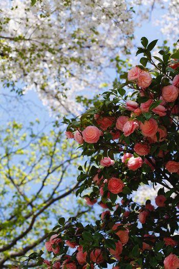 椿と彩り Plant
