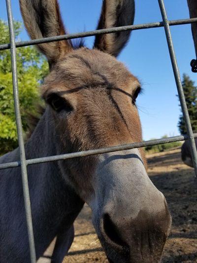 Donkey LOVE heeHaw - Eyes wise with stories of time - Soft lips gentle kiss #haiku #onelove #petalumakoa #Chillin #wiseeyes #heehaw #EyeEmNewHere #closeup #photography Donkey