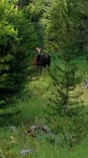 Saw a moose