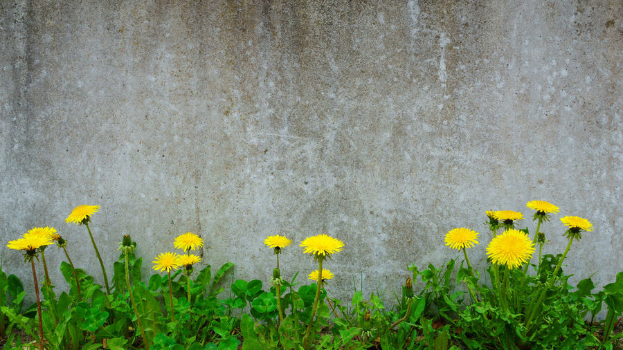Close-up of yellow daffodil flowers against wall